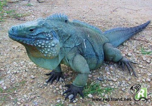 L'iguane bleu (Cyclura lewisi) est une espèce de lézard de la famille des Iguanidés. Il se rencontre sur l'île de Grand Cayman et est en voie de disparition. Auparavant considéré comme une sous-espèce de l'iguane terrestre de Cuba, il a été reclassé en 2004 comme une espèce distincte.