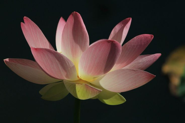 Lotus flower in the Ornamental Lake, in full and perfect bloom!