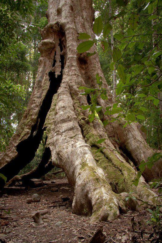 Postmans Tree on the Historic Nightcap Track - Byron Trails