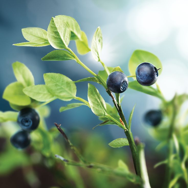 Arctic blueberry is bursting with strong antioxidants, especially anthocyanins that help to protect the skin against premature aging.The berry extract strengthens the skin and is particularly beneficial for sensitive complexions, while the antioxidants help to improvethe suppleness of collagen fibers, which are responsible for skin's firmness. Blueberry seed oil is also conditioning for lashes. Read more: www.lumene.com/our-story