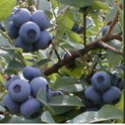 Growing Blueberries in Containers, How to Grow Blueberries in Containers