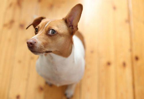 danish swedish farmdog and schnauzer mix - Google-Suche