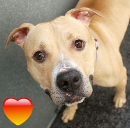 Manhattan Center LUCKY – A1070773  MALE, TAN, PIT BULL MIX, 2 yrs STRAY – STRAY WAIT, NO HOLD Reason STRAY Intake condition EXAM REQ Intake Date 04/18/2016 http://nycdogs.urgentpodr.org/lucky-a1070773/