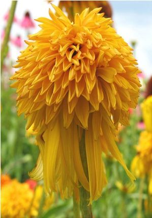 47 best images about flowers that love full sun on pinterest sun horticulture and flower - Flowers that love full sun and heat ...