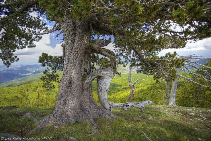 Walking on the Pollino Mountains among the Bosnian Pines (Pinus heldreichii) - Camminando sul Pollino    #TuscanyAgriturismoGiratola