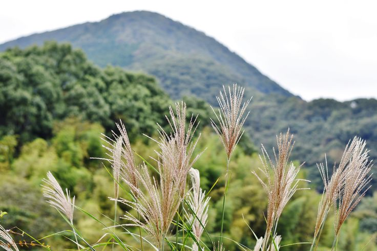 松川湖のススキ 2016.10