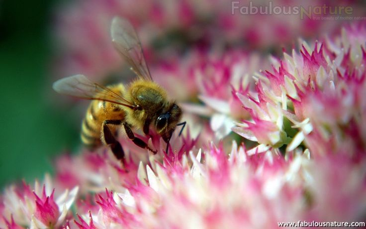 Don't kill the bees because they sting, they help make our world beautiful by helping the fruit grow and the flowers bloom, like the one in this photo.Pink Flower, Nature Pictures, Haley, Beautiful, Gardens, Wallpapers, Diligence Bees, Bumble Bees, Flower Plants