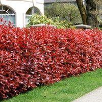 Photinia-Red-Robin