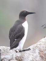 http://bretagne-environnement.org/Patrimoine-naturel/La-faune/Les-oiseaux/Les-oiseaux-marins/17-especes-nichent-en-Bretagne