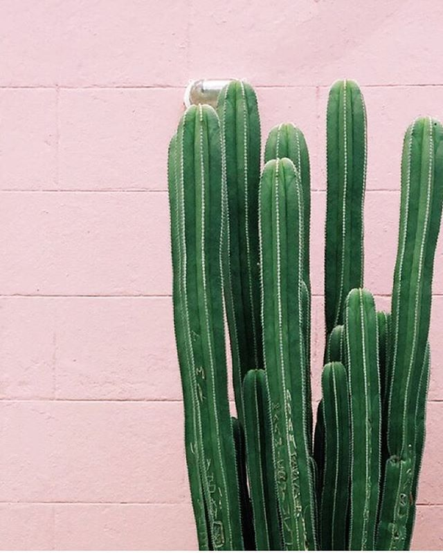 Cactus Plants against Pink Brick Wall Exterior -  #PlantsOnPink by @dabito