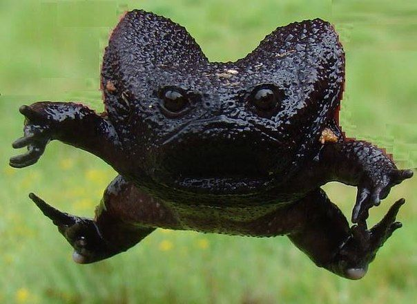 Black Rain Frog (Breviceps Fuscus) is found in Southern Africa