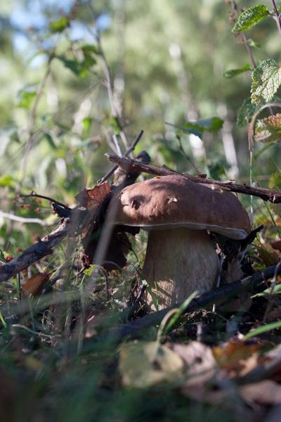 Boletus edulis in the wild - smurf POV