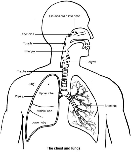 llabled diagram of the lungs