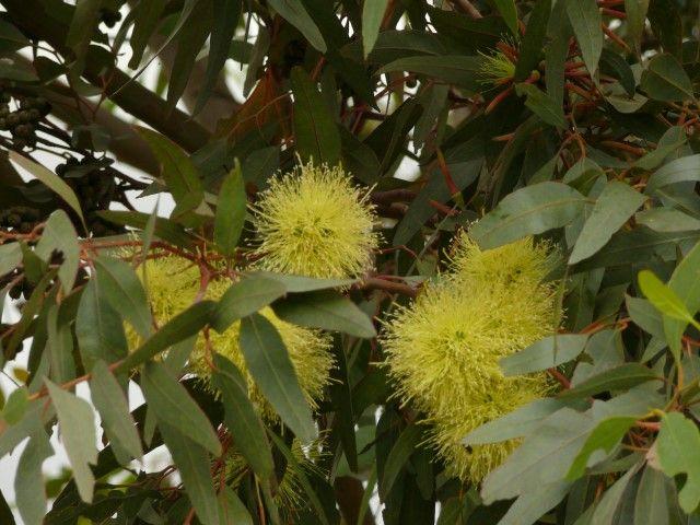 Eucalyptus Summer Scentsation --- For more Australian native plants visit austraflora.com