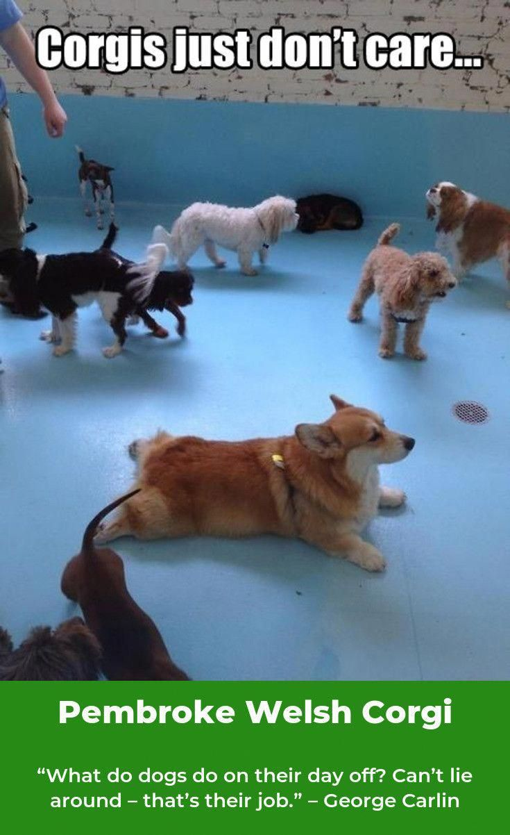 Playfull Corgi Puppy Exercise Needs Pembrokewelshcorgi