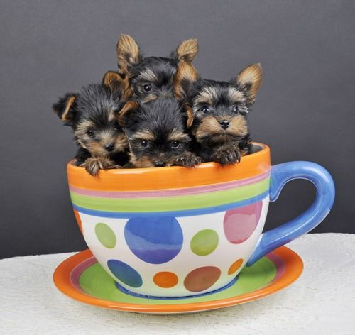 Yorkies in a tea cup!