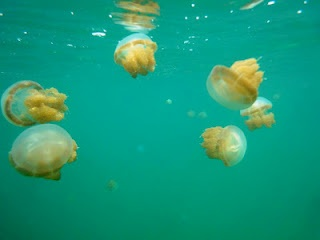 Stingless Jellyfish in Kakaban Lake, Derawan Islands, East Borneo, INDONESIA