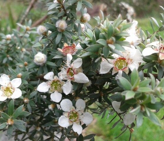 Australian native - Leptospermum lanigerum