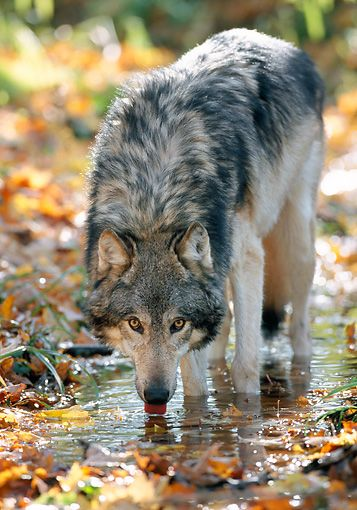 Gray Wolf ~ drinking from puddle in Hardwood Forest, Northern Minnesota by Daniel J. Cox