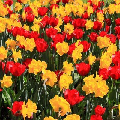 Wie houdt er nu niet van bloemen? Jaarlijks trekt de Keukenhof, een bekend bloemenpark ten noordwesten van Lisse, in het voorjaar ongeveer 800.000 bezoekers vanuit de hele wereld. Ook daarbuiten kan men met de auto of fiets genieten van de bollenvelden, of kijken naar de jaarlijkse bloemencorso.  Hoe leuk zou het zijn als u al die mooie bloemen eens van heel dichtbij kunnen bekijken, voelen en ruiken?