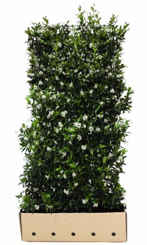 11 best assortment evergreen quickhedge instant hedges for Evergreen climbing plants for privacy