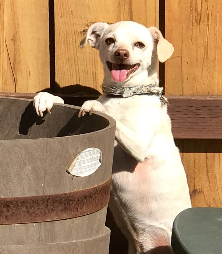 Chipin dog for Adoption in Marina Del Rey, CA. ADN-474821 on PuppyFinder.com Gender: Male. Age: Adult
