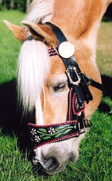 Haflinger from the Isle of Man, with floral folk halter