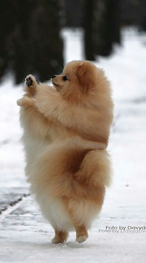 Pomeranian - So fluffy!!