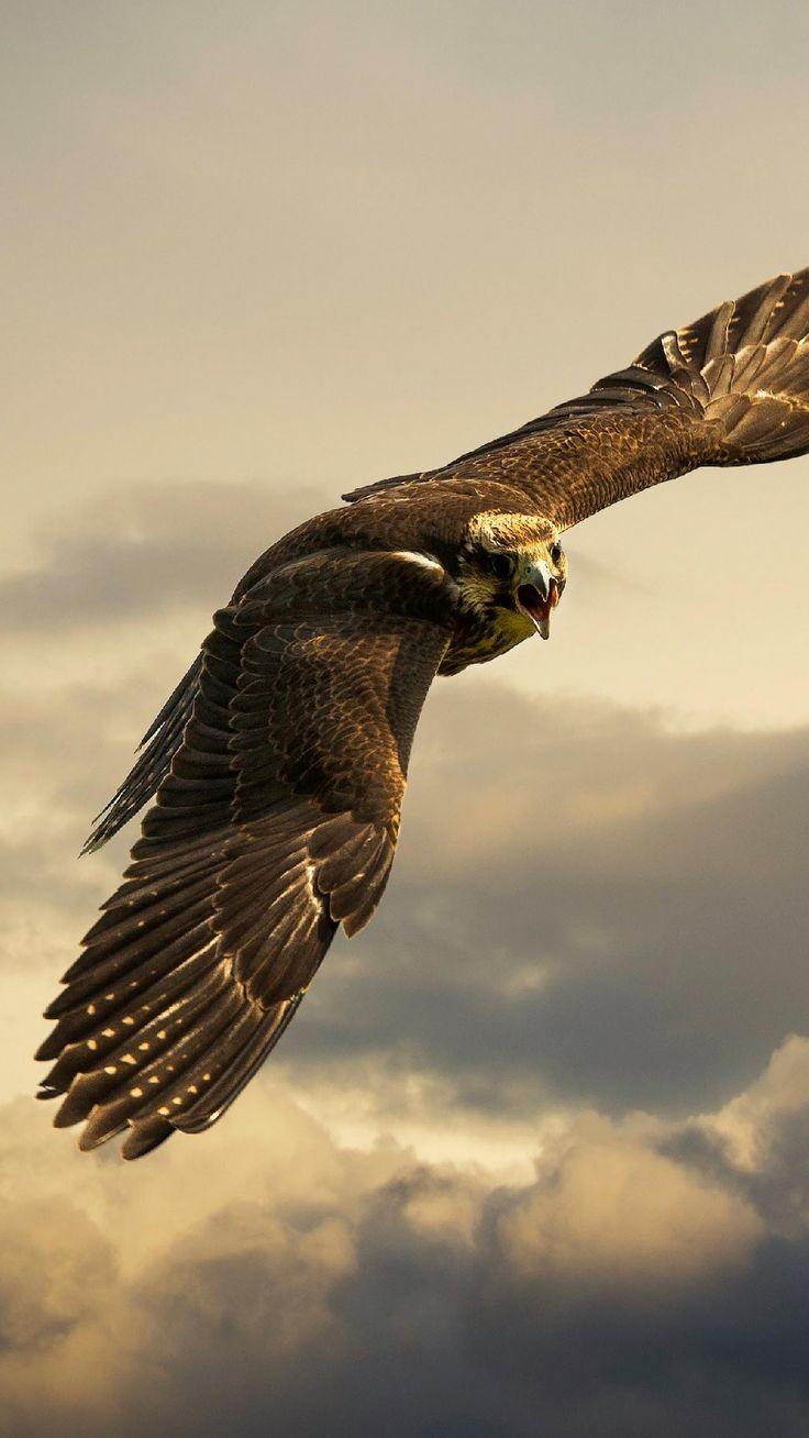 猛禽類」のおすすめ画像 346 件 | pinterest | 動物、白頭鷲、鷹