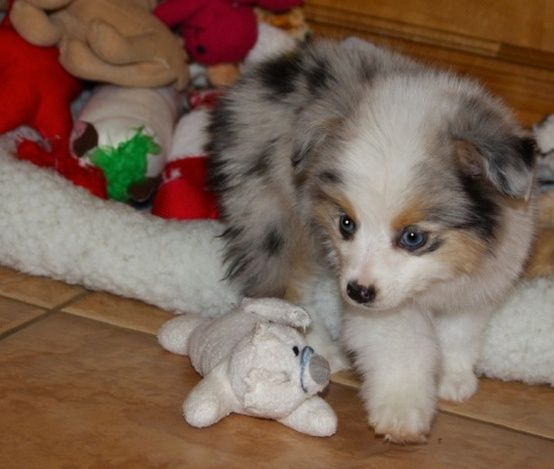 Teacup Australian Shepard Puppy...I had no idea that there was a teacup size in this breed  -so adorable