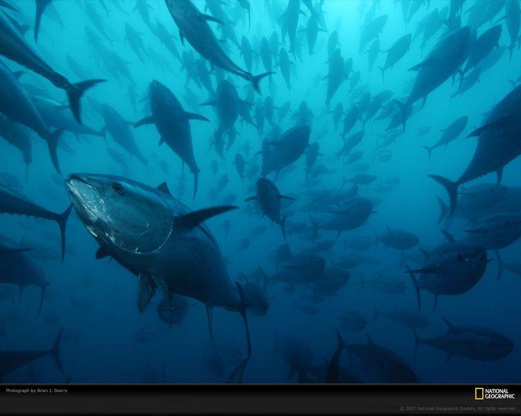 Bluefin Tuna. So beautiful <3