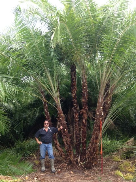 buy wild date palm phoenix reclinata senegal-date-palm-realpalmtrees (Big Senegal Date Palm) Florida Palms