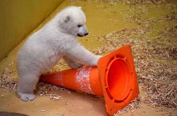 Ce bébé ours polaire est né le 11 décembre 2015. Il a presque trois mois et vit au zoo de Bremerhaven en Allemagne.