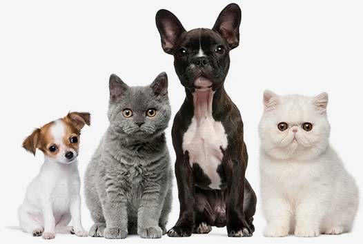 55 Corgi Shiba Inu Pitbull Mix In 2020 Animal Reiki Animals Dog Cat