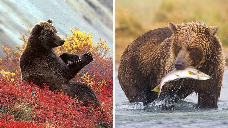 Die Hauptnahrungsmittel von Kodiakbären, die in Alaska leben, sind Holunderbeeren und Lachs. Genauer gesagt, erst der Lachs und dann die Beeren. Denn Ende Juli laichen die Lachse und werden bei ihrer Wanderung durch die Gewässer zu leichter Beute. Im August sind dann die Beeren reif, die Bären können sie an den Flussufern ernten.