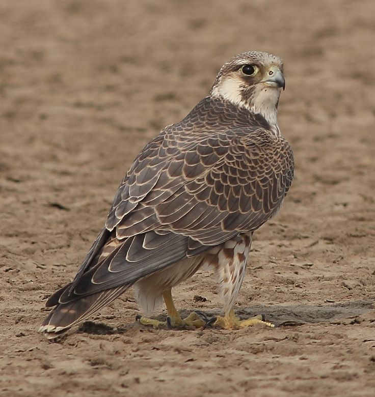 how to keep peregrine falcons away