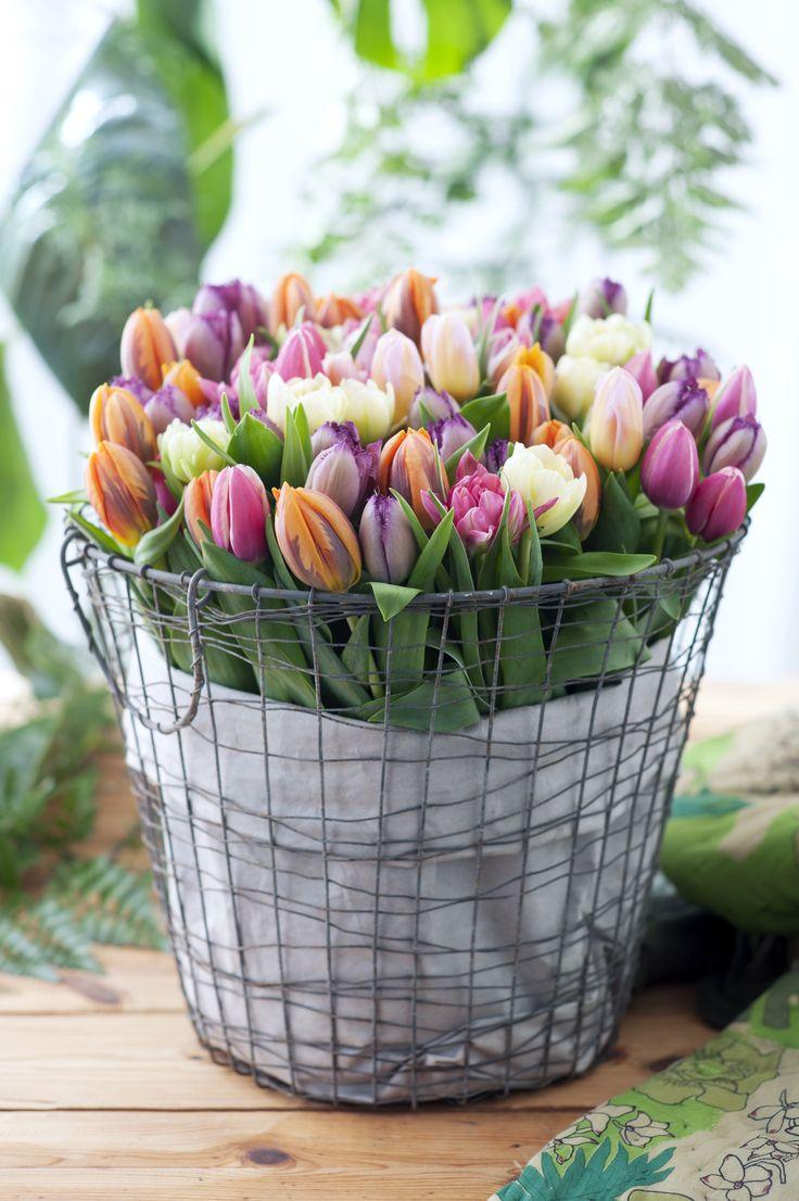 Ein Drahtkorb mit Tulpen - frisch und frühlingshaft... .