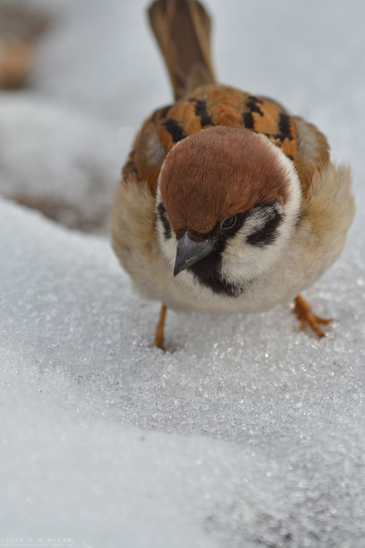 191 best sparrows and titmice images on pinterest beautiful