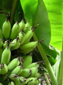 17 meilleures id es propos de bananier sur pinterest planter bananier bananier interieur et. Black Bedroom Furniture Sets. Home Design Ideas