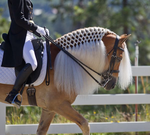 Haflinger horse doing dressage. Love the plaited mane.