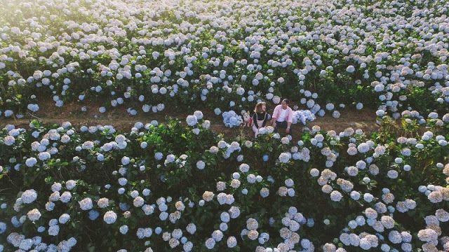 Discovering Hydrangeas Field In Da Lat In 2020 Da Lat Hydrangea Hydrangea Garden