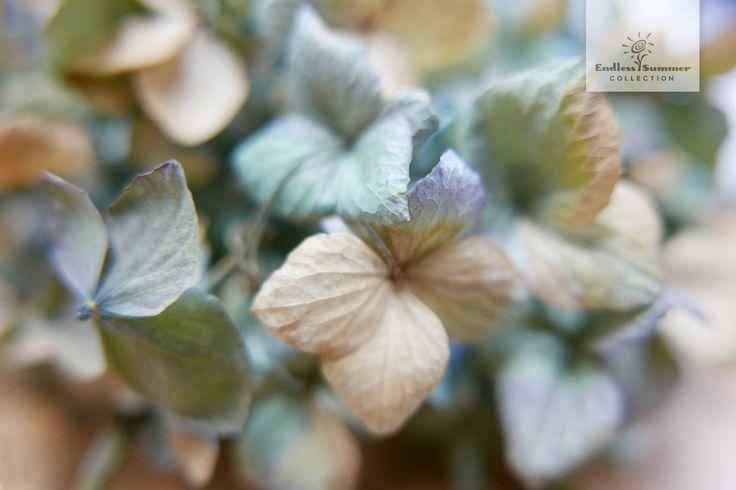 Der Herbst steht vor der Tür und sorgt für Bastelstimmung. Damit Hortensien-Gestecke den Winter überdauern müssen die Blüten allerdings getrocknet werden. Die einfachste Methode ist, die Hortensien in eine Vase mit wenig Wasser zu geben und dann austrocknen zu lassen. Das geht relativ schnell hat aber den Nachteil, dass die Blüten häufig ihre schöne Farbe verlieren. Hier gibt es einen kleinen Trick: Einfach dem Wasser etwas Glycerin (erhältlich im Drogeriemarkt oder der Apotheke) beimischen.