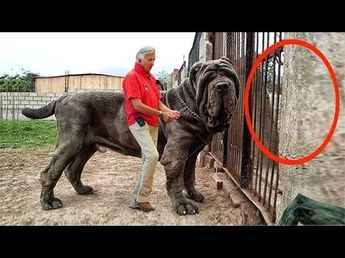 Biggest Dogs in The World   Largest Dogs   Giant Dogs 2015 - YouTube