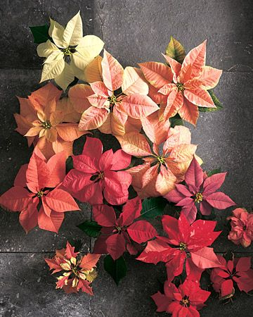 Crepe-Paper Poinsettia Embellish wrapped gifts with crepe-paper poinsettias that look like the real thing. How to Make the Poinsettias