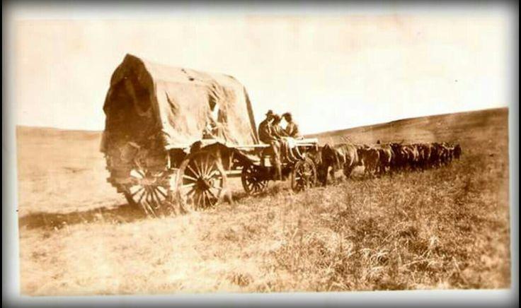 Ossewa met osse. My voorouers, die Voortrekkers het so die binneland ingetrek. (foto Gielie de Villiers)