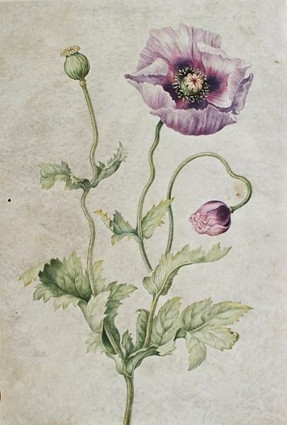 Johanna Helena Herolt Graff, Anemone, Late 17th - early 18th century