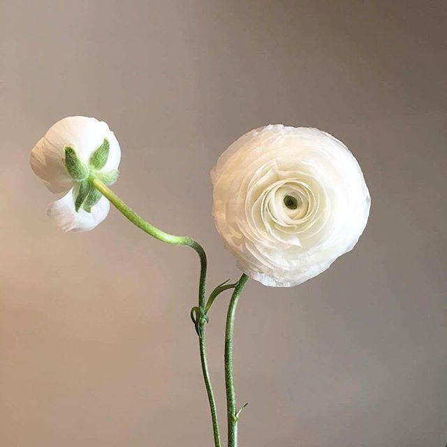 Sun daze ☁️💚  White Ranunculus / Buttercup plant