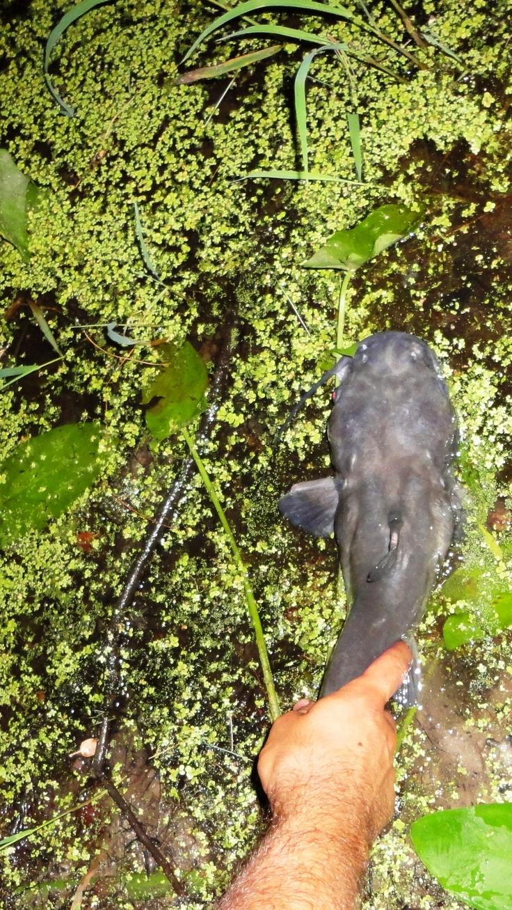 White catfish release