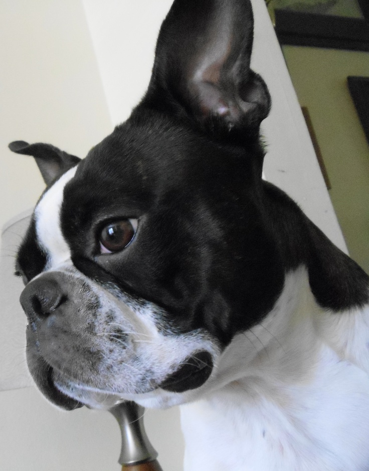 Doc the Boston Terrier.