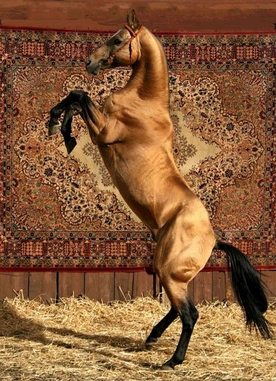 "The Akhal-Teke's most notable and defining characteristic is the natural metallic bloom of its coat. This is especially seen in the palominos and buckskins, as well as the lighter bays, although some horses ""shimmer"" more than others.They have a rather slim body and ribcage (like an equine version of the greyhound), with a deep chest. The conformation is typical of horses bred for endurance over distance. The Akhal-Tekes are lively and alert, with a reputation for bonding to only one perso"
